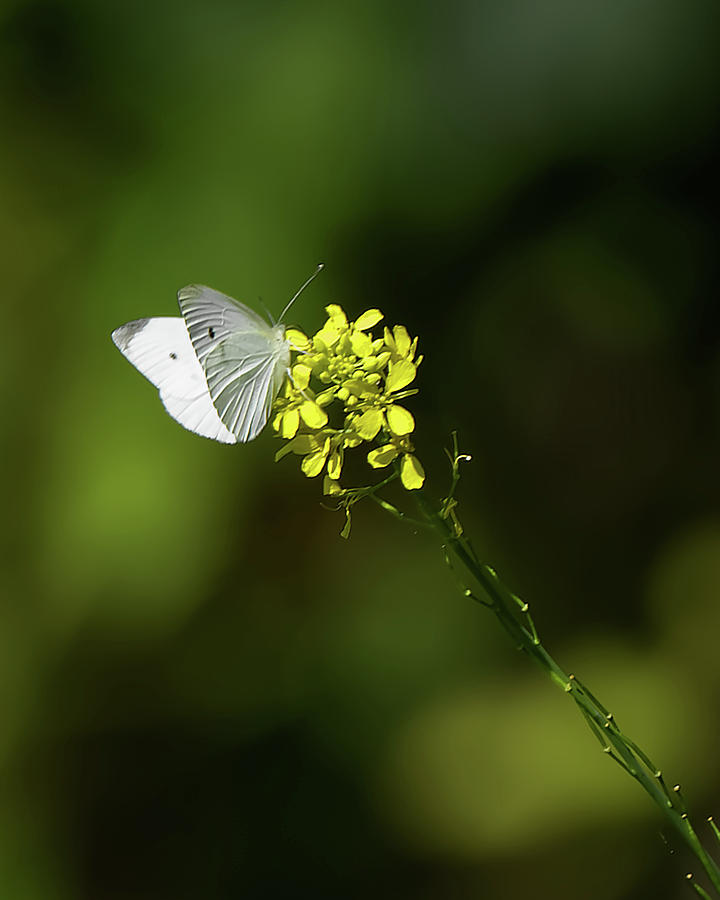 White Butterfly Photograph