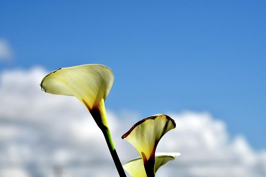 White Calla Lilies 2 Photograph