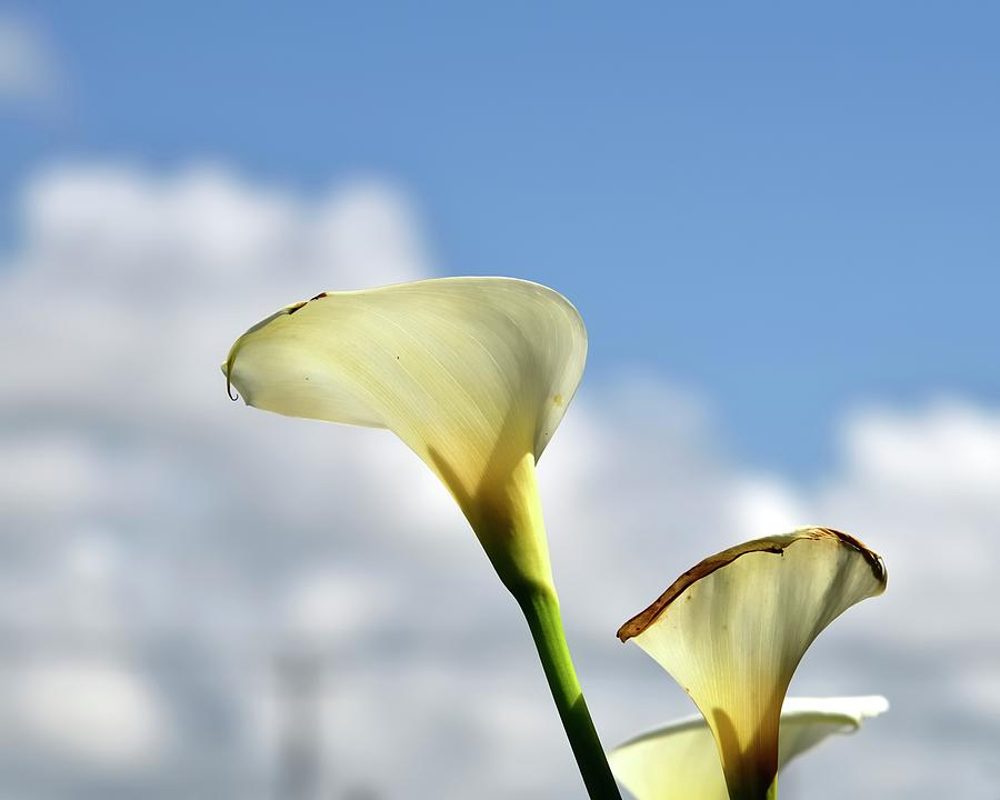 White Calla Lilies Photograph