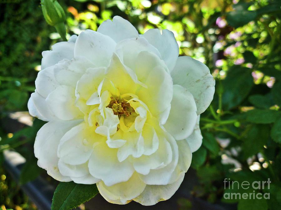 White Rose Flower_006 Photograph