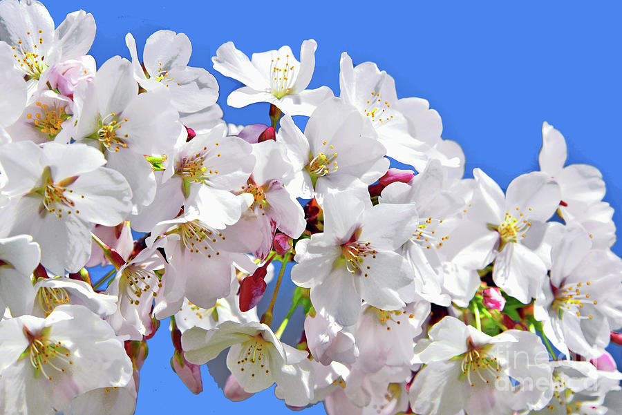 White Cherry Blossoms And Blue Sky Photograph