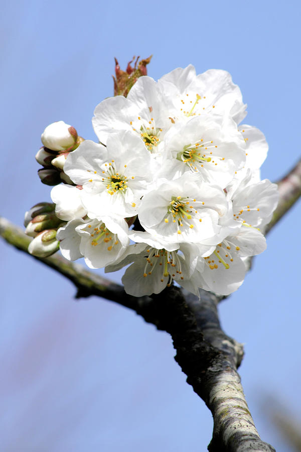 White Cherry Blossoms Dorset England Photograph By Loren Dowding