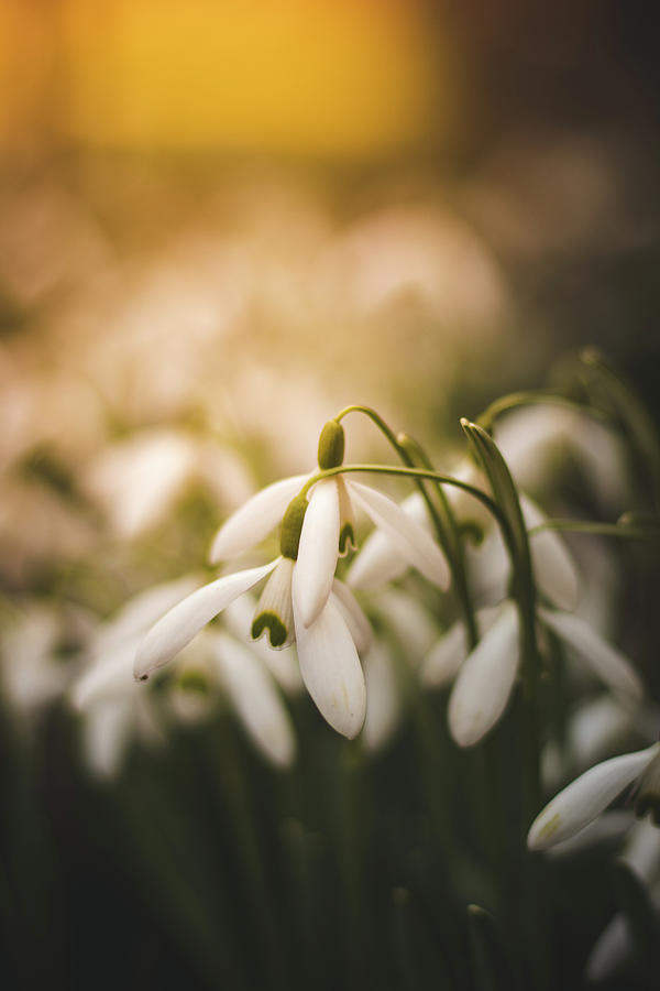 White Common Snowdrop - Prank Of Nature Photograph