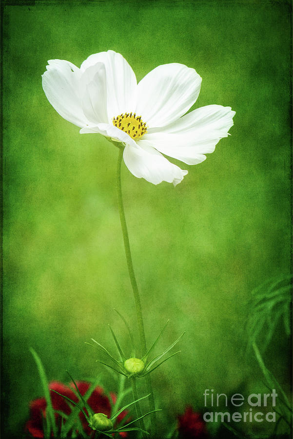 White Cosmos Portrait Photograph