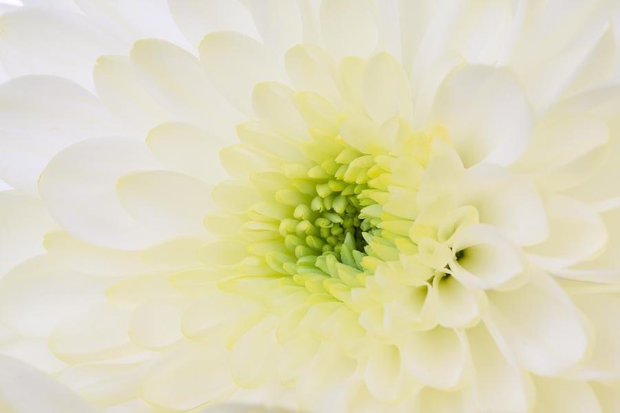 White Dahlia Blossom by Macro Floral Gallery