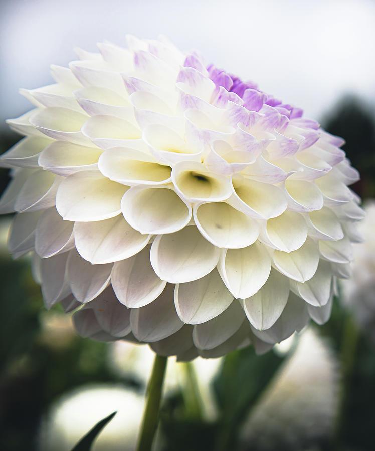 White Dahlia Photograph