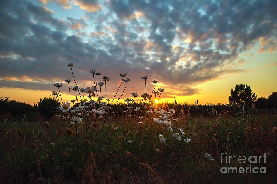 Daisies At Sunset Photograph