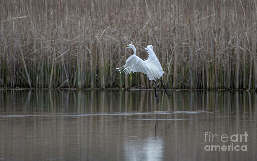White Egret Photograph - White Egret - 2 by David Bearden