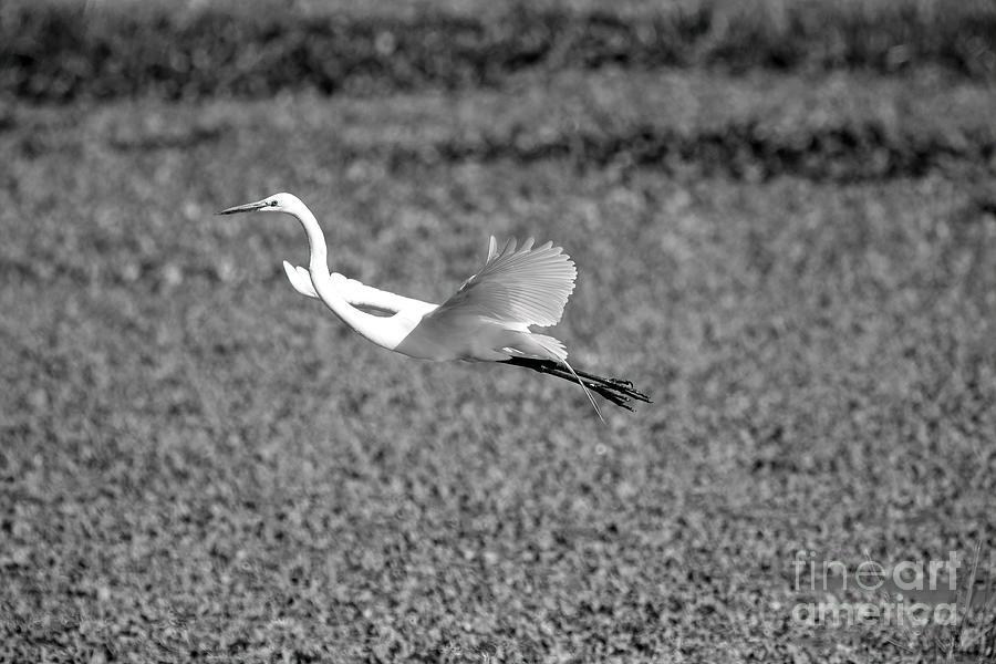 White Egret Photograph - White Egret by Felix Lai
