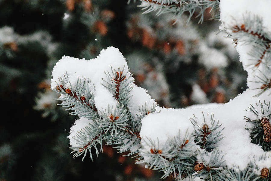 Nature Photograph - White Evergreens by Kamie Stephen