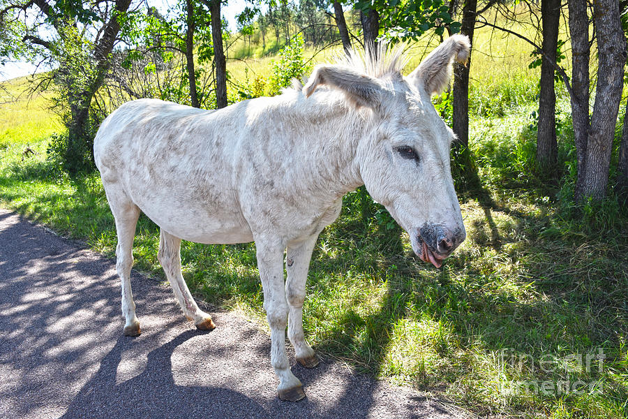 White Floppy Eared Burro by Catherine Sherman