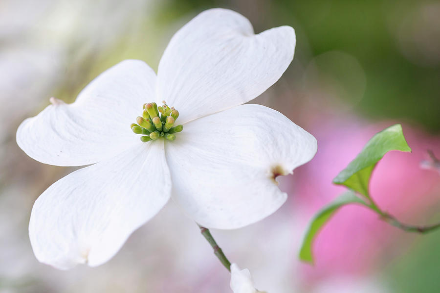 White Flower Of Cornus Florida by Jenny Rainbow