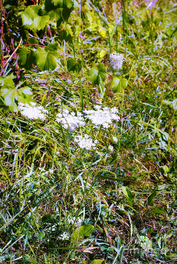 Nature Photograph - White Flowers in the Prairie - Macro by Frank J Casella
