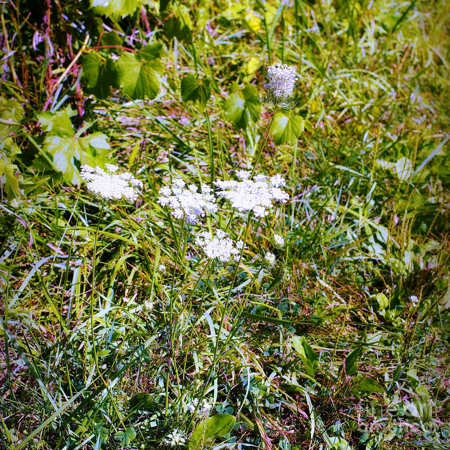 White Flowers In The Prairie - Square Photograph