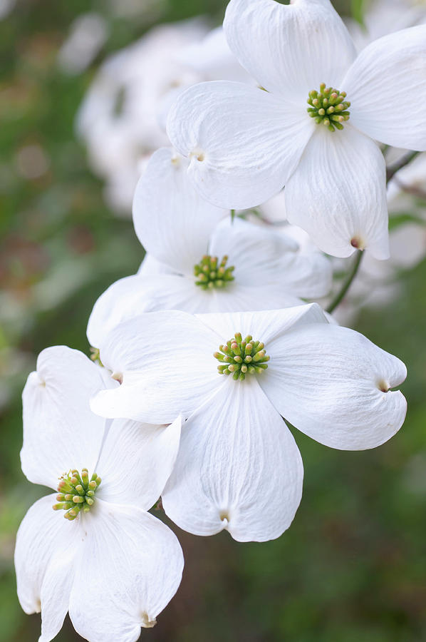 White Flowers Of Cornus Florida Closeup 1 by Jenny Rainbow
