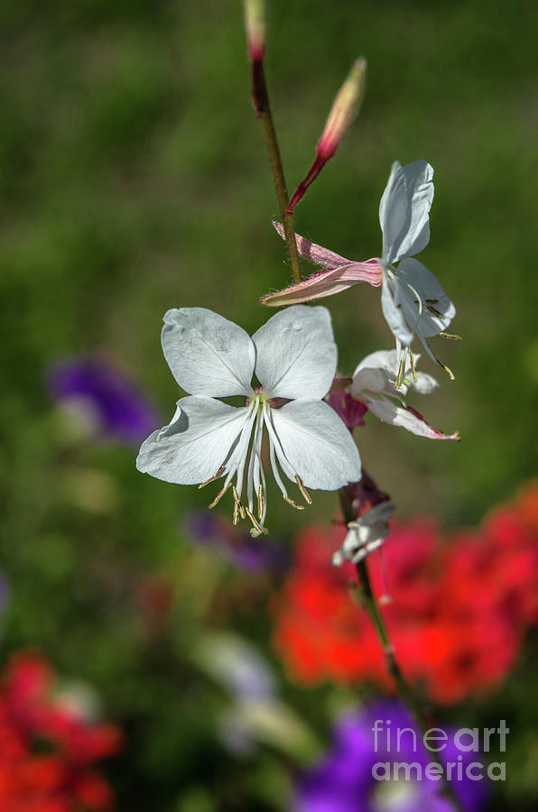 Background Photograph - White Gaura by Michelle Meenawong