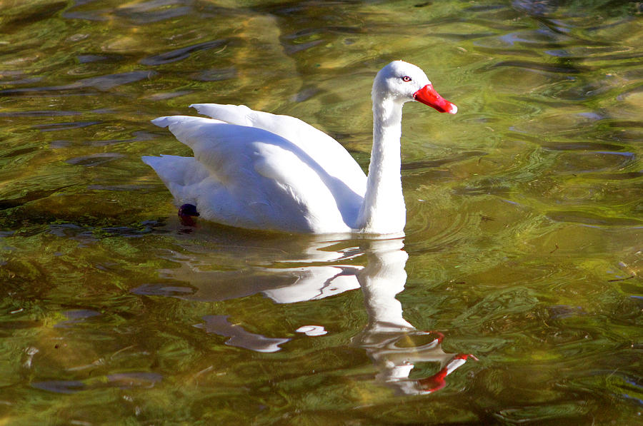 Birds Photograph - White Goose Reflections, Argentina by Venetia Featherstone-Witty