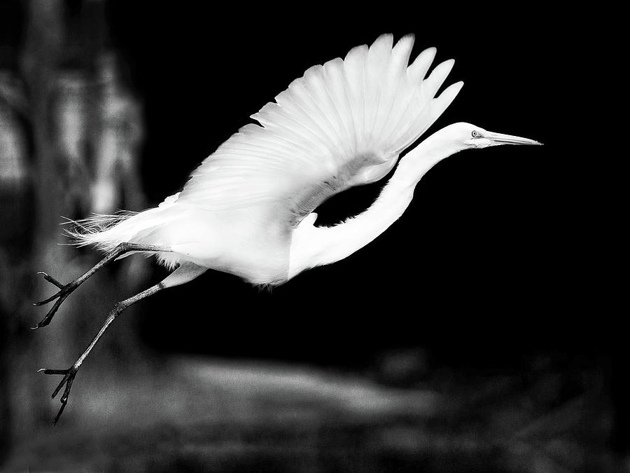 Bird Photograph - White Heron in Flight by Mitford Fontaine