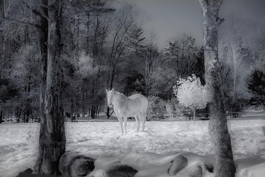White Horse on New England Farm by Joann Vitali