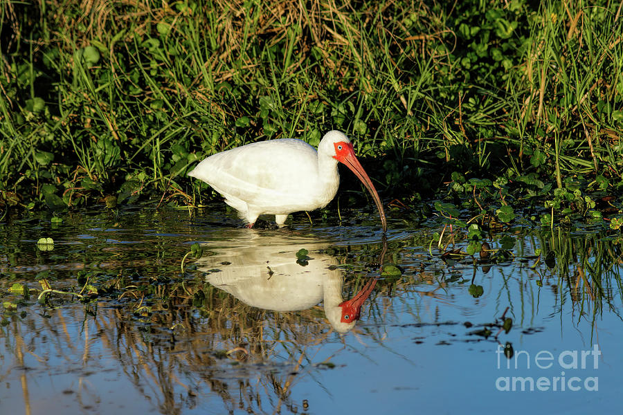 Reflection Photograph - White Ibis And Its Reflection by Felix Lai