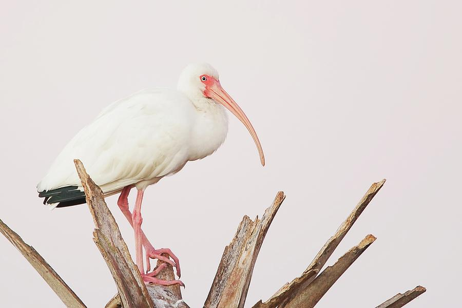 White Ibis In Tree Photograph