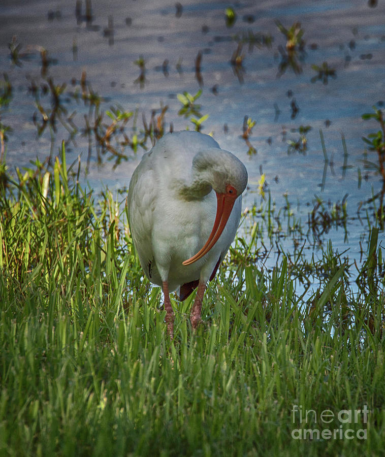 White Ibis by Judy Hall-Folde