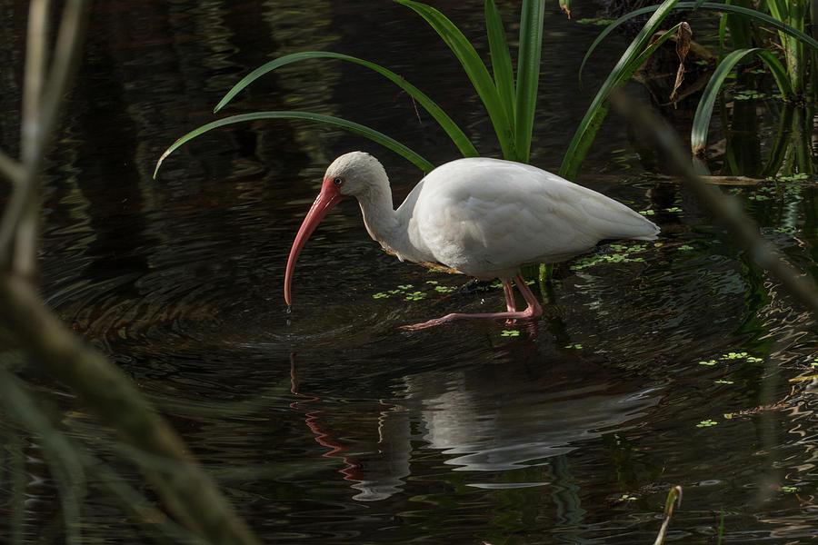 White Ibis Reflecting by Margaret Zabor
