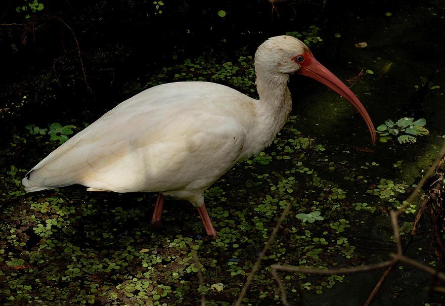 White Ibis Wading by Margaret Zabor