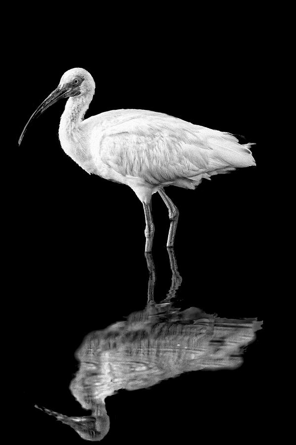 White Ibis with Reflection by Perla Copernik
