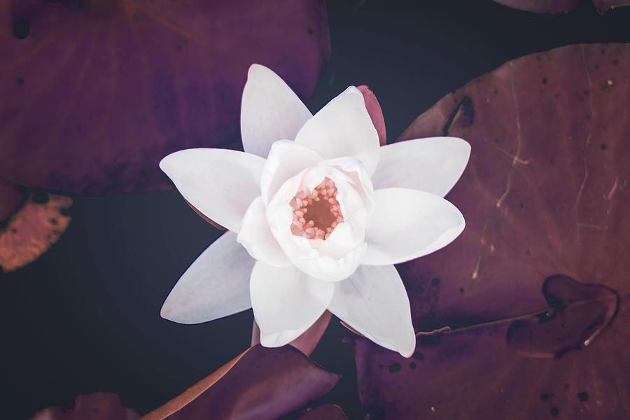 white lily flower - Surreal Art by Ahmet Asar Digital Art