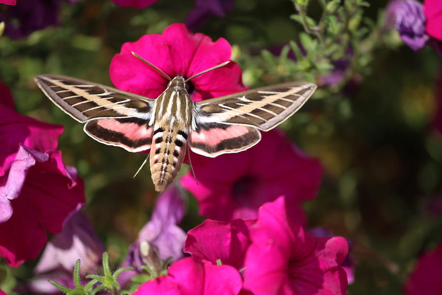 White-lined Sphinx Moth Photograph - White-lined Sphinx Moth by Callen Harty