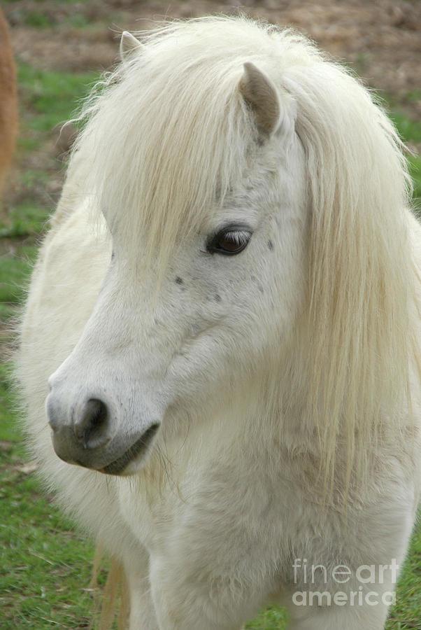 White Mini Horse In Pasture Photograph