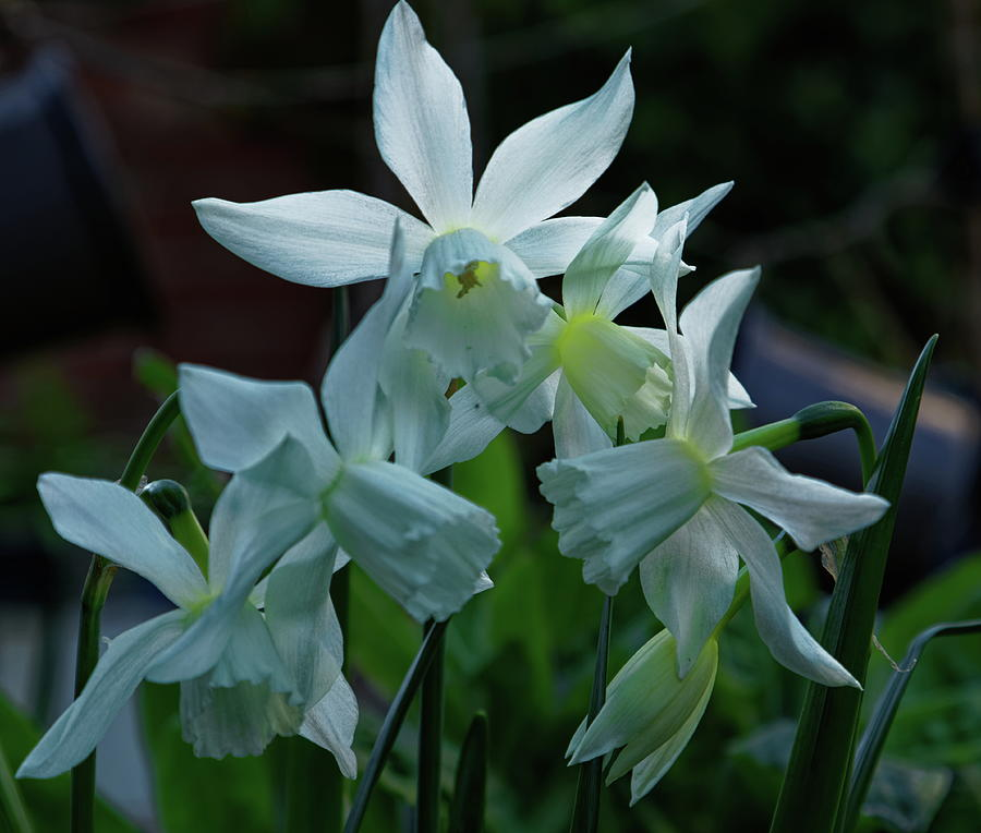 White Narcissus Flowers Photograph