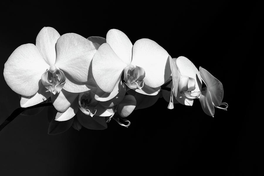 White Orchid Phalaenopsis Amabilis Flower Petal by John Williams