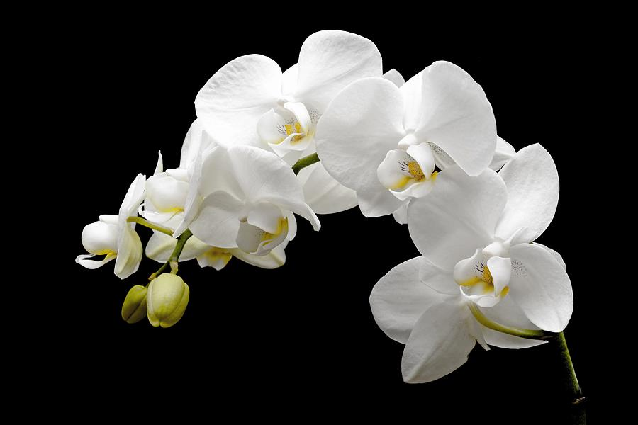 White Orchids On Black Painting