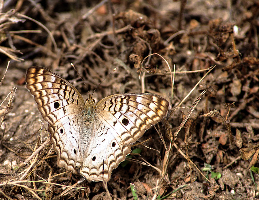 White Peacock Butterfly Photograph