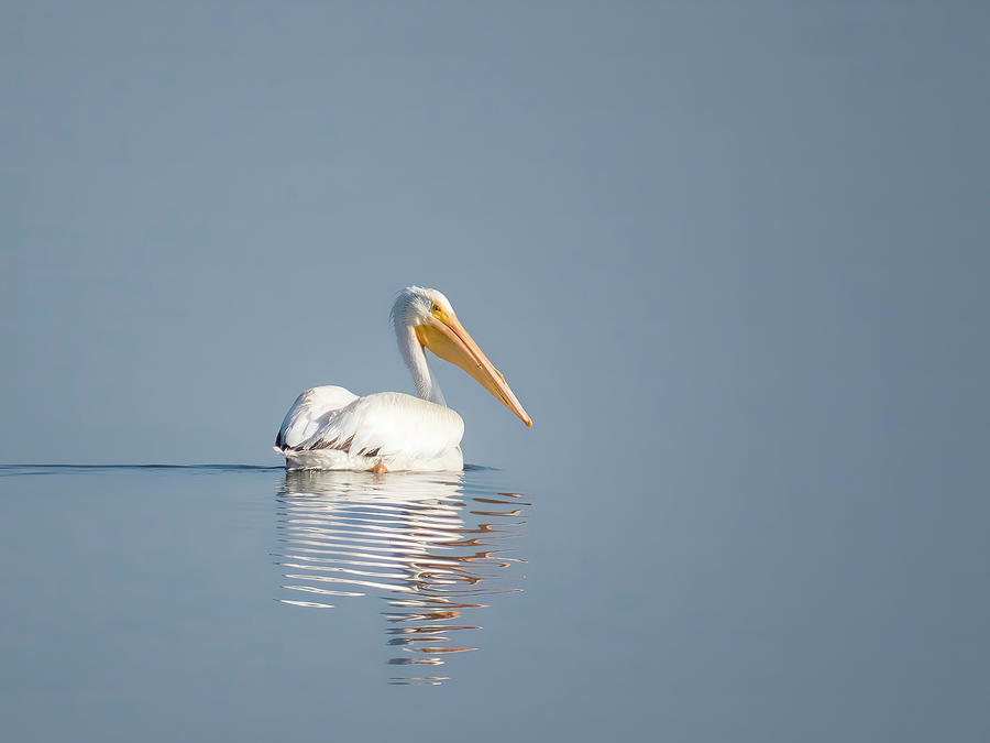 White Pelican Solo by Patti Deters
