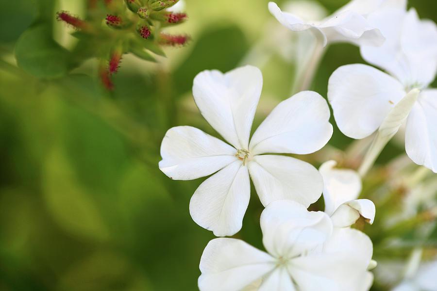 White Plumbago Photograph