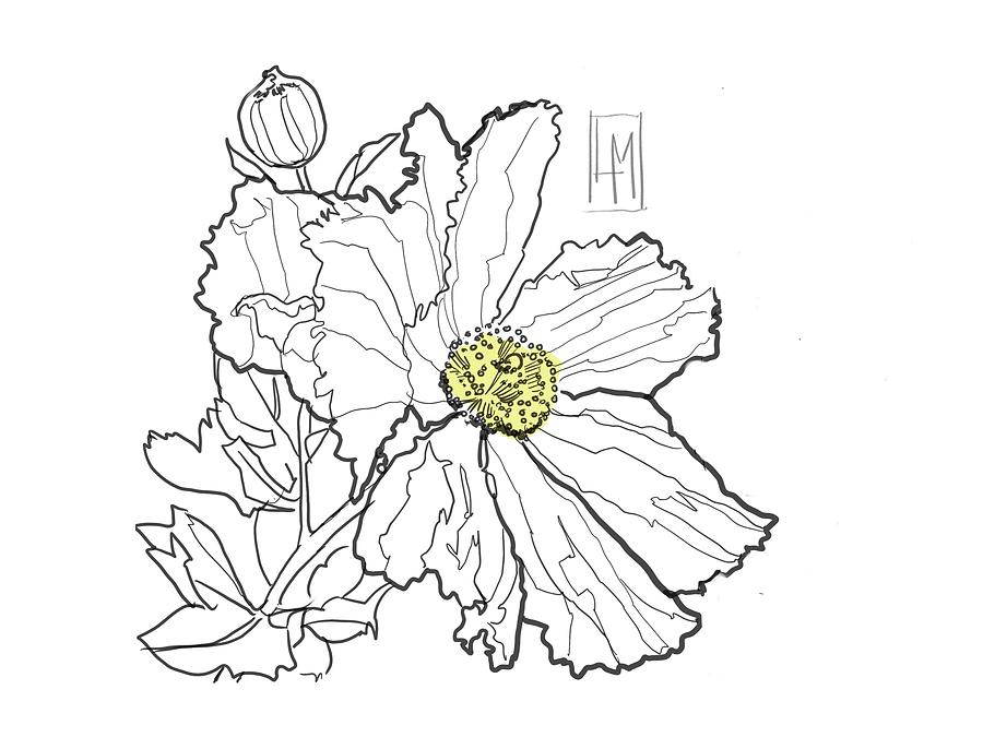 White Poppy Drawing
