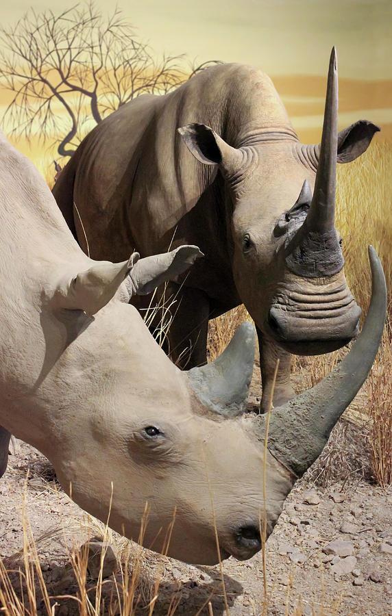 White Rhinoceros Pair At The International Wildlife Museum, Tucson, Az, Usa Photograph