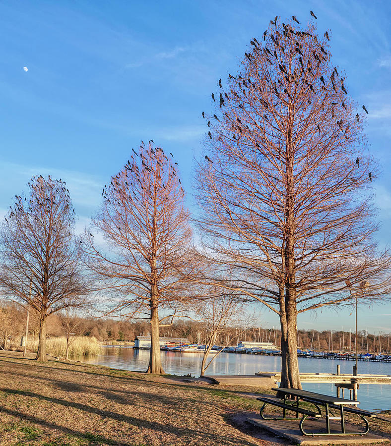 White Rock Lake Birds in Trees 011020 by Rospotte Photography