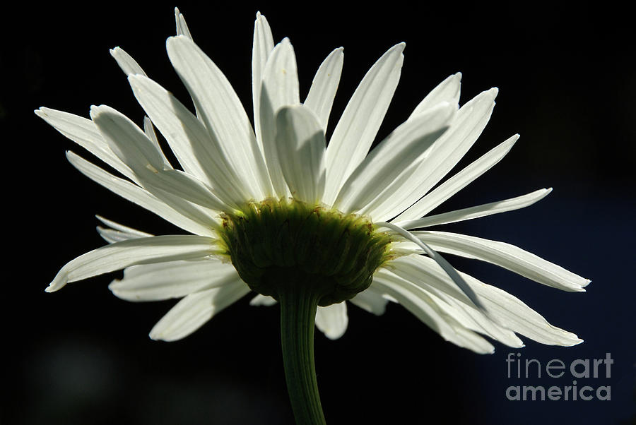 White Shasta Daisy On Black Background Photograph