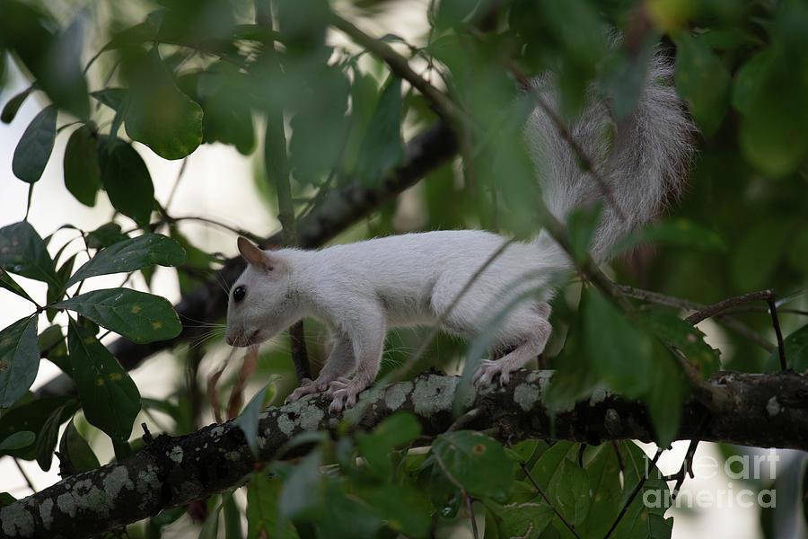 White Squirrel - Mutated Gene Photograph
