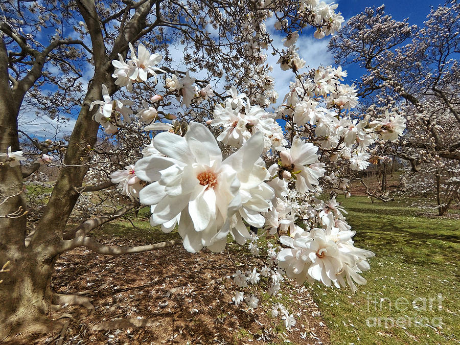 White Star Magnolia Trees In Bloom Spring Flowers Photograph