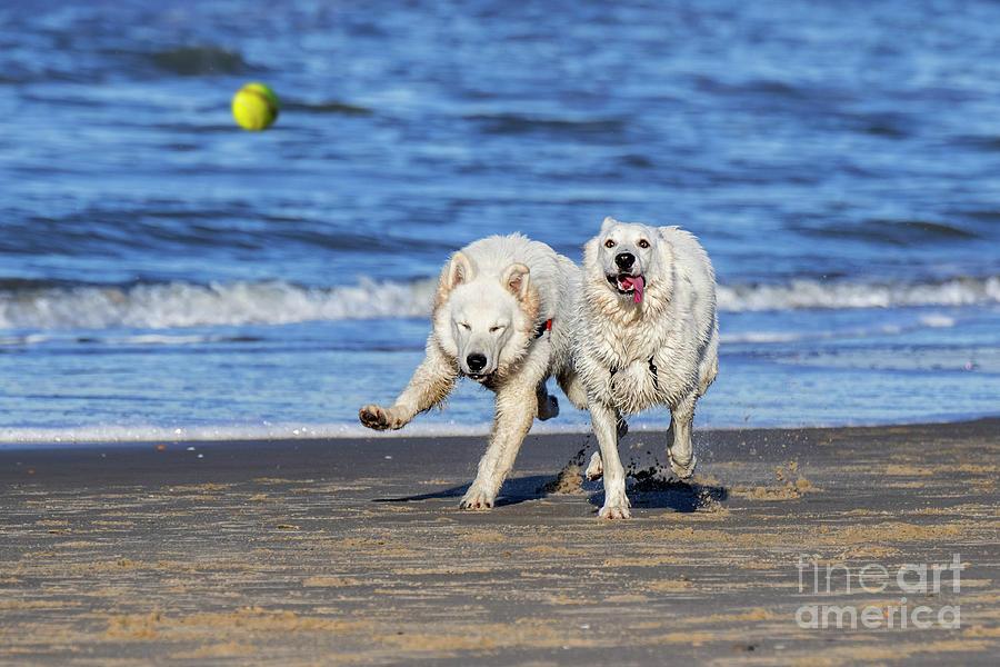 White Swiss Shepherd Dogs by Arterra Picture Library