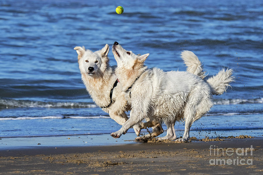 White Swiss Shepherd Dogs on the Beach by Arterra Picture Library