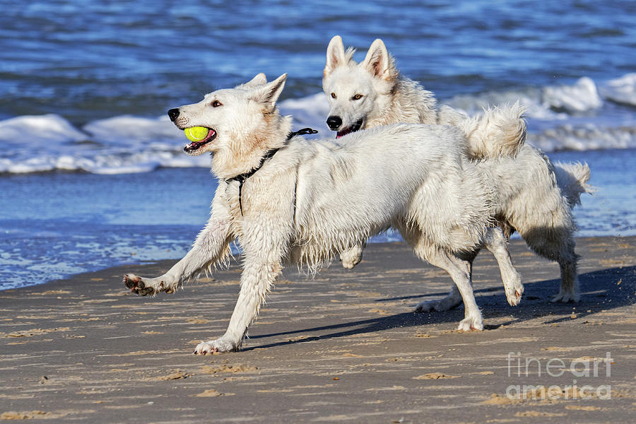 White Swiss Shepherd Dogs Playing Fetch by Arterra Picture Library