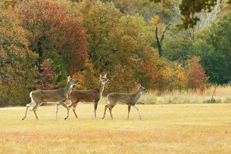White-tail Deer in Autumn Field by Sheila Brown