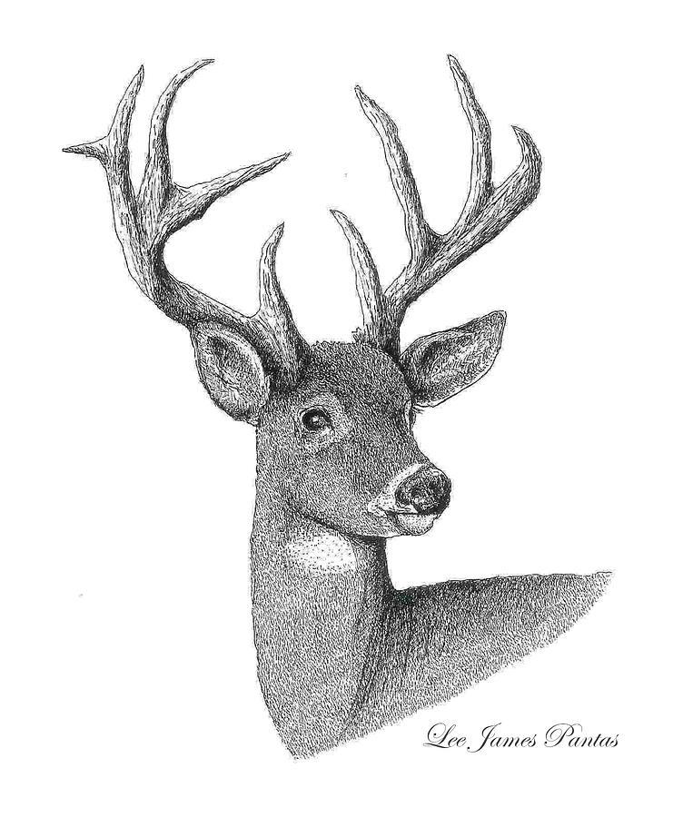Deer Drawing - White-Tailed Deer by Lee Pantas