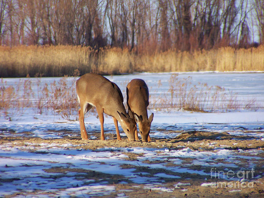 White-Tailed Deer on the beach by The Ford Family